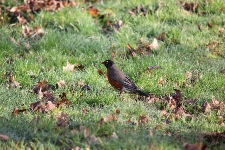 A colorful detailed American Robin bird standing in the grass with a dirty beak observing the situation  Stock Photo