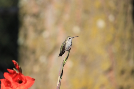 A young colorful Oregon hummingbird stopped to rest on the tip of a Gladiolus flower sword on a sunny morning  Stock Photo
