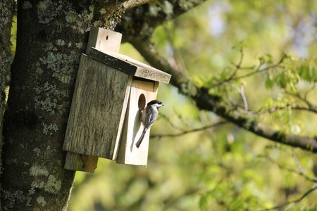 Oregon Black-Capped Chickadee Attracted To A Back Yard Birdhouse  Stock Photo
