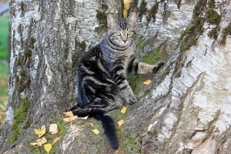 Young black and grey stripped calico cat sitting at birch tree