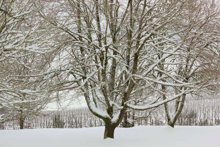 Large old maple tree with its winter branches covered with snow