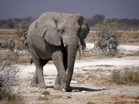 An elephant in Etosha wild park - Namibia Stock Photo