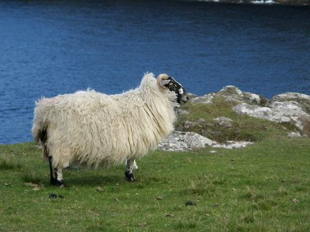 A sheep in Schotland