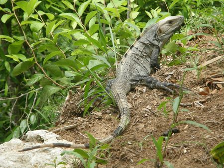 Iguana in Chichen Itza Stock Photo