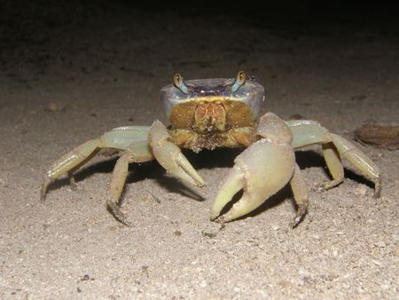 A crab in Belize
