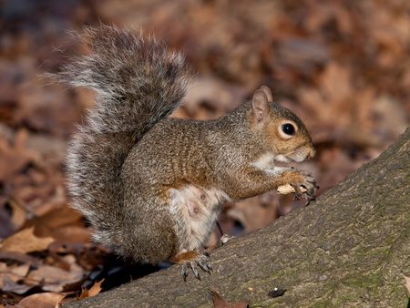 A squirrel eating a nut
