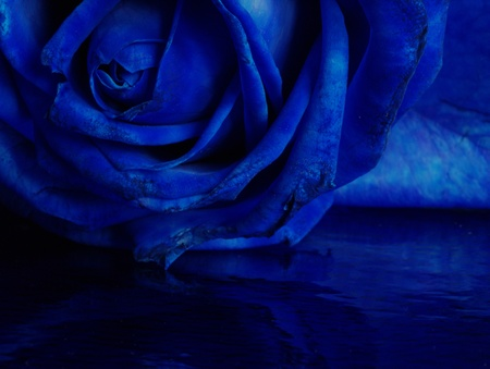 blue rose Stock Photo