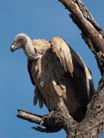 Vulture in Africa Stock Photo