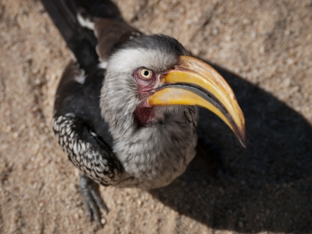 Bird in Africa  Yellow hornbill
