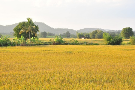 landscape golden rice field Stock Photo