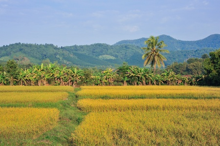 landscape golden rice field mountain and blue sky photo