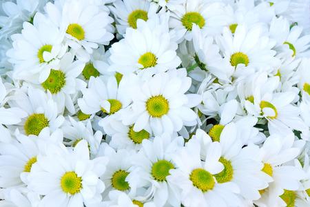 daisys: Beautiful Daisys