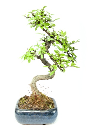 small green bonzai tree Stock Photo - 9496952