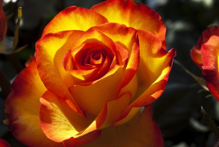 pink rose Stock Photo - 10507628