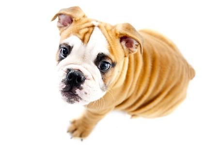 Dog on the wihte background photo