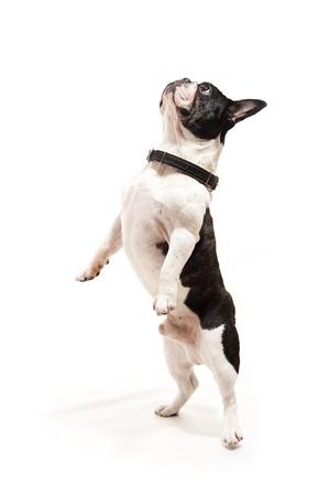 dog on white background jump up
