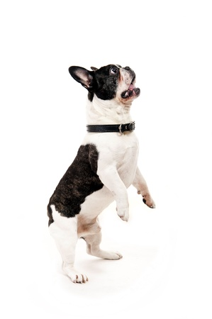 dog on white background jump up photo