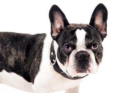 Bulldog on white background photo