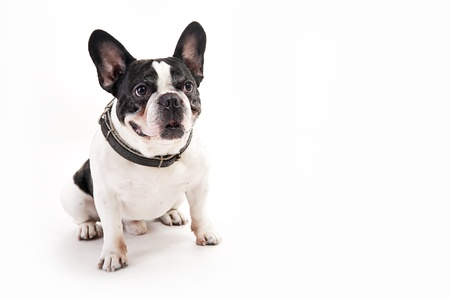 Bulldog on white background photo