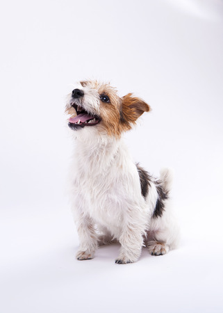 chuckle: nice, cute dog Jack Russell terrier with pleasure looks at the camera and smiling. Chuckle. trick. emotional animal Stock Photo