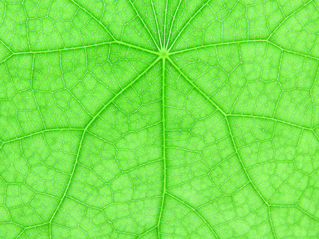 neurone: Backlight of fresh green leaf for texture background Stock Photo