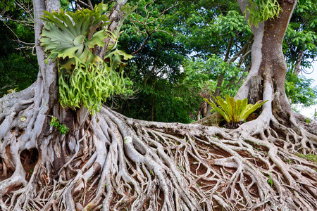 Wortels van de oude boom, verbazingwekkende chaos op Chulabhorn Dam, Chaiyaphum, Thailand.