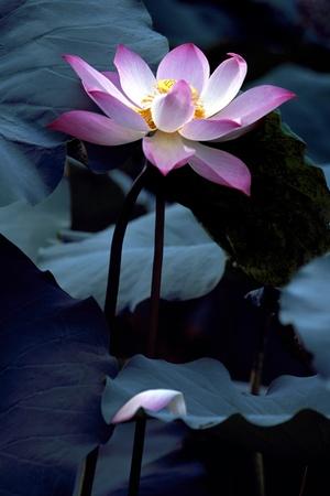 Falling Down Lotus photo