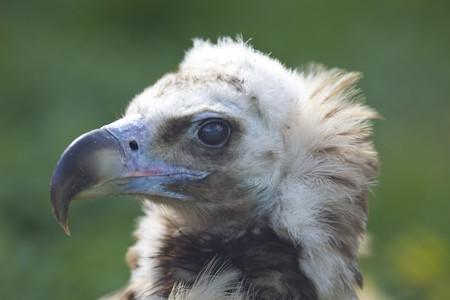 black vulture head close up eagle Stock Photo - 7098815