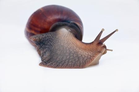 grape snail: big grape snail turn left on the way macro