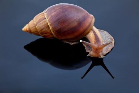 grape snail: big grape snail look at mirror on black background