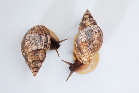 Studio shot of two grape snails, close-up photo
