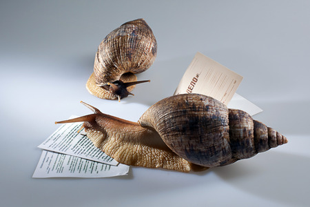 grape snail: Two grape snails crawling on documents in studio