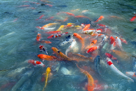 stream: Image of fishes named Cyprinus carpio. Phuket, Thailand