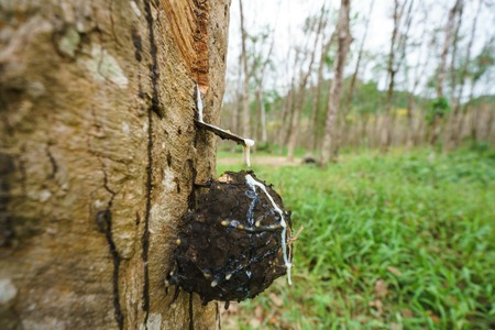 resin: Rubber production in Thailand. Image of tree, close-up