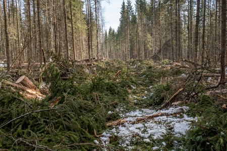 forestry: Forestry. Image of coniferous forest after felling