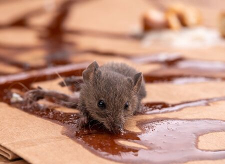 Trapped gray mouse licking poison from carton