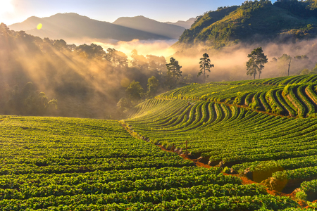 Light morning mist the strawberry farm is Ang Khang in Thailand. Beautiful background nature. Standard-Bild