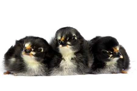 three black little chick isolated on white background photo