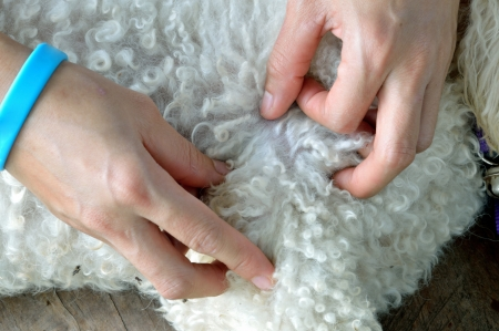 two hands of woman are seeking the dog flea  photo