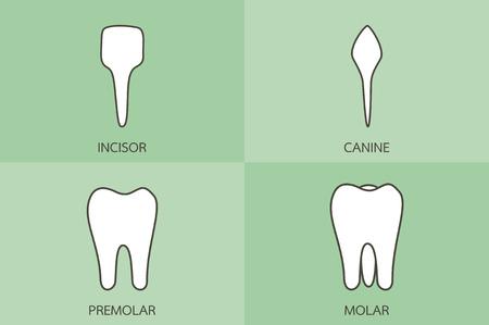 dental cartoon vector, tooth type - incisor, canine, premolar, molar