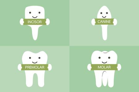 incisor: dental cartoon vector, tooth type - incisor, canine, premolar, molar