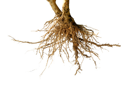 bare dead root tree isolated on white