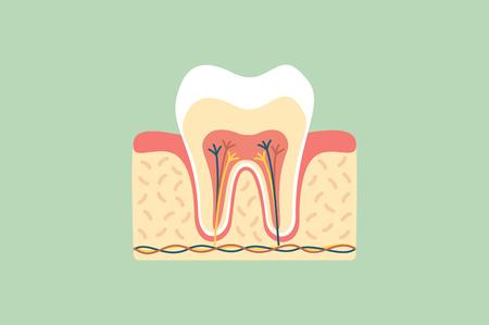 dental cartoon flat vector, healthy tooth anatomy Illustration