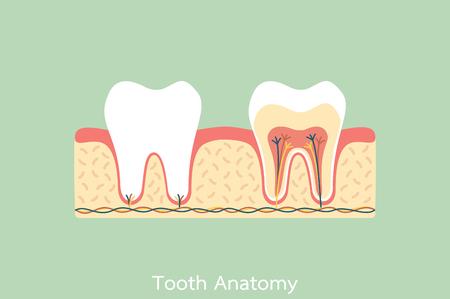 Ein Zahnkarikatur Flachen Vektor, Gesunde Zahn Anatomie Ist Spaß ...
