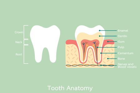 dental cartoon flat vector, healthy tooth anatomy with word