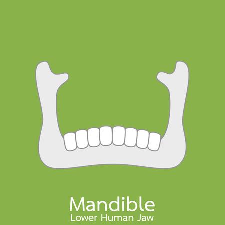 Dental cartoon vector flat style for design, lower human jaw - mandible. part of skull