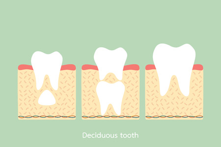 Permanent tooth located below primary tooth. Anatomy structure including the bone and gum. Dental cartoon vector flat style cute character for design.