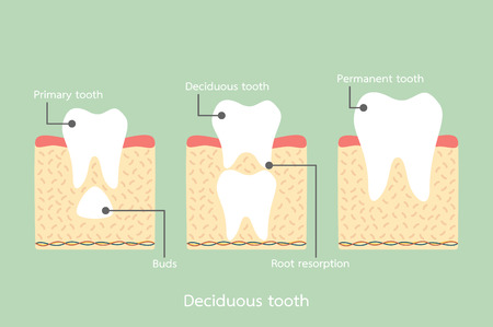 permanent tooth located below primary tooth, anatomy structure including the bone and gum with detail word - dental cartoon vector flat style cute character for design