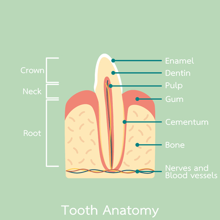 Illustration of tooth anatomy with parts Illustration