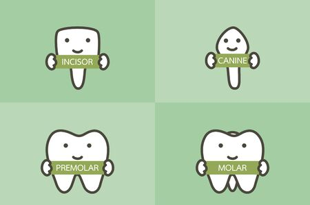 type of tooth ( incisor, canine, premolar, molar ) - dental cartoon vector flat style cute character for design